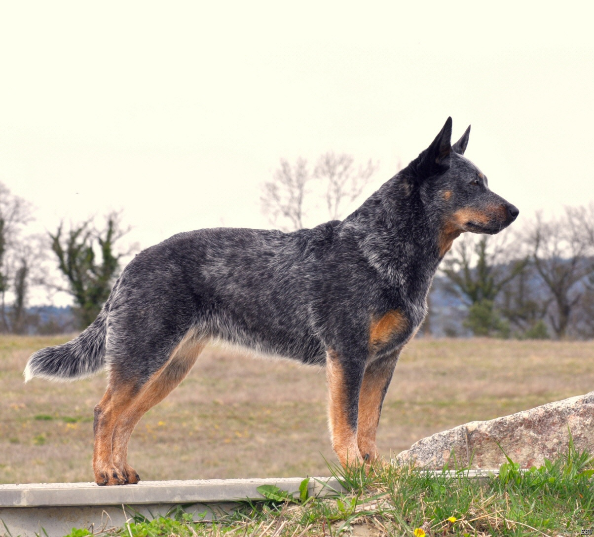 Cattle Dogs For Sale South Australia
