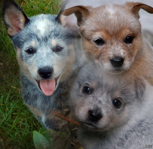 australischer cattle dog